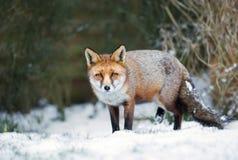 Primer de un zorro rojo que se coloca en nieve durante invierno Fotos de archivo libres de regalías