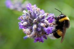 Primer de una abeja Foto de archivo