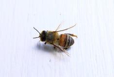 Primer de una abeja con el fondo blanco Fotografía de archivo libre de regalías