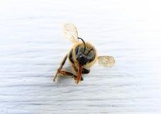 Primer de una abeja con el fondo blanco Foto de archivo libre de regalías