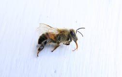 Primer de una abeja con el fondo blanco Imágenes de archivo libres de regalías