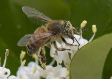 Primer de una abeja de la miel cubierta con polen Fotografía de archivo libre de regalías
