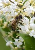 Primer de una abeja de la miel cubierta con polen Foto de archivo