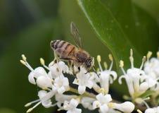 Primer de una abeja de la miel cubierta con polen Imágenes de archivo libres de regalías