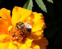 Primer de una abeja de la miel en una flor. Imágenes de archivo libres de regalías