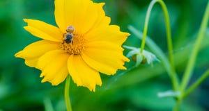 Primer de una abeja de la miel que recolecta el néctar Fotos de archivo