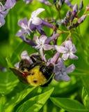 Primer de una abeja del manosear en la flor de la lavanda con las hojas verdes Fotos de archivo libres de regalías