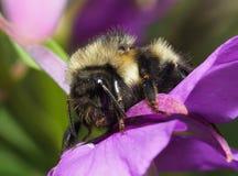 Primer de una abeja del manosear en mala hierba rosada del fuego Imágenes de archivo libres de regalías