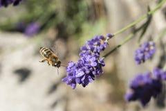Primer de una abeja del vuelo en una flor de la lavanda Foto de archivo libre de regalías