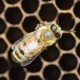 Primer de una abeja en el panal en colmenar Imagen de archivo libre de regalías