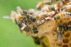 Primer de una abeja en el panal en colmenar Imágenes de archivo libres de regalías