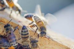 Primer de una abeja en el panal en colmenar Fotos de archivo libres de regalías