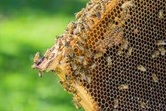 Primer de una abeja en el panal en colmenar Fotografía de archivo libre de regalías