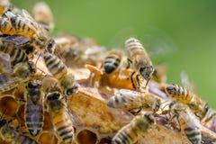 Primer de una abeja en el panal en colmenar Imagen de archivo