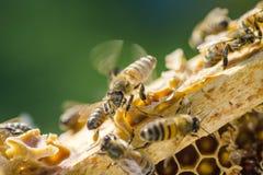 Primer de una abeja en el panal en colmenar Fotos de archivo