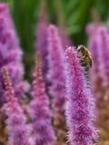 Primer de una abeja en el spicatra rosado de Liatis del flor Foto de archivo libre de regalías