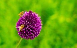 Primer de una abeja en las flores púrpuras Imágenes de archivo libres de regalías