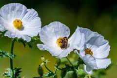 Primer de una abeja en Poppy Wildflower Blossom espinosa blanca adentro Imagen de archivo libre de regalías