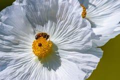 Primer de una abeja en Poppy Wildflower Blossom espinosa blanca adentro Foto de archivo
