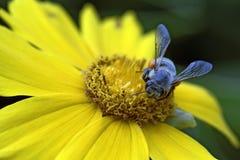 Primer de una abeja en un cosmos amarillo Fotos de archivo libres de regalías
