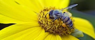 Primer de una abeja en un cosmos amarillo Imágenes de archivo libres de regalías