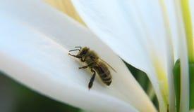 Primer de una abeja en un flor por luz del día Imágenes de archivo libres de regalías