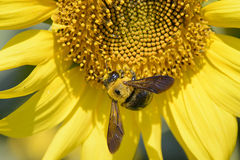 Primer de una abeja en un girasol Foto de archivo