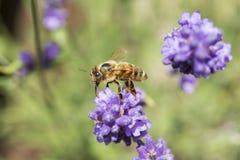 Primer de una abeja en una flor de la lavanda Imagen de archivo