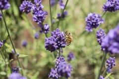 Primer de una abeja en una flor de la lavanda Fotografía de archivo libre de regalías