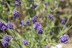 Primer de una abeja en una flor de la lavanda Imagen de archivo libre de regalías