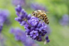 Primer de una abeja en una flor de la lavanda Foto de archivo