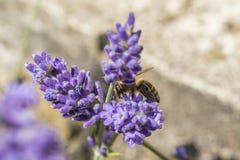 Primer de una abeja en una flor de la lavanda Fotos de archivo libres de regalías