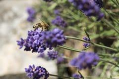 Primer de una abeja en una flor de la lavanda Imágenes de archivo libres de regalías