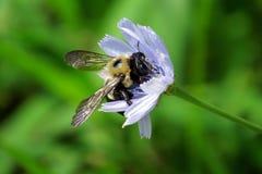 Primer de una abeja en una flor de la lavanda con un fondo verde Fotos de archivo