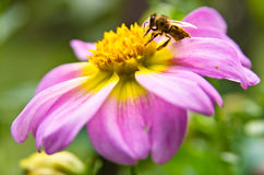 Primer de una abeja en una flor magenta grande que chupa el polen Fotos de archivo libres de regalías