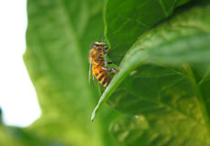 Primer de una abeja en una hoja verde por luz del día Fotos de archivo