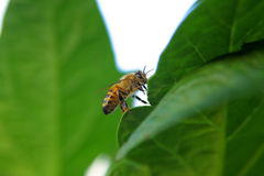 Primer de una abeja en una hoja verde por luz del día Foto de archivo