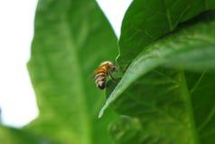Primer de una abeja en una hoja verde por luz del día Imágenes de archivo libres de regalías