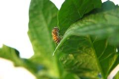 Primer de una abeja en una hoja verde por luz del día Fotos de archivo libres de regalías