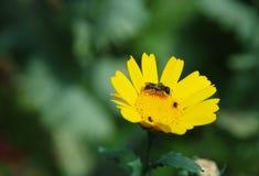 Primer de una abeja en una margarita amarilla del maíz Fotos de archivo