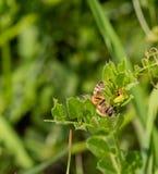 Primer de una abeja en una planta verde Imagen de archivo libre de regalías