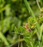 Primer de una abeja en una planta verde Fotografía de archivo libre de regalías