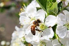 Primer de una abeja de la miel en un flor Fotografía de archivo