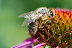 Primer de una abeja de la miel que poliniza la flor púrpura Fotografía de archivo