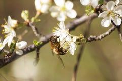 Primer de la abeja Imagen de archivo libre de regalías