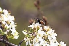 Primer de la abeja Fotos de archivo libres de regalías