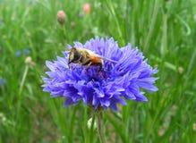 Primer de una abeja que recoge el néctar del aciano púrpura brillante en campo verde Fotos de archivo