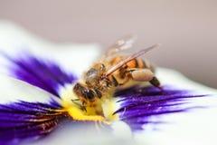 Primer de una abeja que recoge el polen en un flujo púrpura y blanco Imágenes de archivo libres de regalías