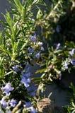 Primer de una abeja que recoge el polen de Rosemary Flowers, macro, naturaleza Foto de archivo