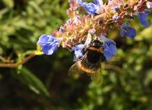 Primer de una abeja que recolecta el néctar Foto de archivo libre de regalías